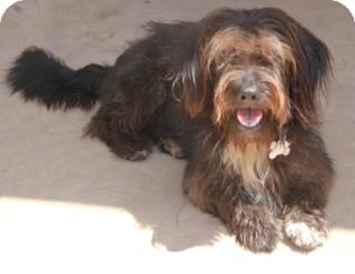 Schnauzer (Standard)/Basset Hound Mix Dog for adoption in Allentown, Pennsylvania - Willoughby