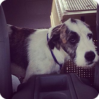 Irish Wolfhound/Boxer Mix Puppy for adoption in Nashville, Tennessee - FIONA