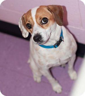 Jack Russell Terrier/Terrier (Unknown Type, Medium) Mix Dog for adoption in New Martinsville, West Virginia - Janie