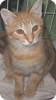 Domestic Shorthair Kitten for adoption in Randolph, New Jersey - Wanda Kitten- so sweet