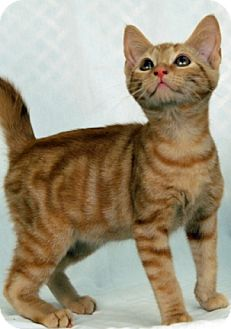 Domestic Shorthair Cat for adoption in Newland, North Carolina - Latte