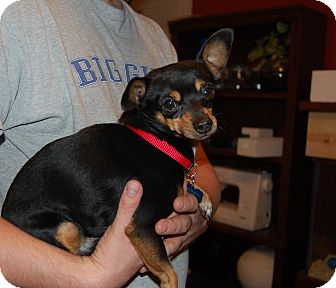 Chihuahua Mix Dog for adoption in Hurricane, Utah - Zeus