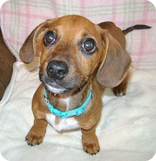 Dachshund Mix Puppy for adoption in New Oxford, Pennsylvania - Gibby