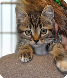 Domestic Shorthair Kitten for adoption in Colonial Heights, Virginia - Allana