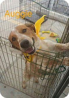Basset Hound/Australian Cattle Dog Mix Dog for adoption in Austin, Texas - Auggie