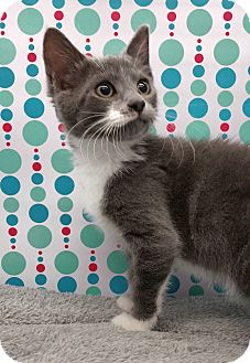 Domestic Shorthair Kitten for adoption in Wayne, New Jersey - Germaine
