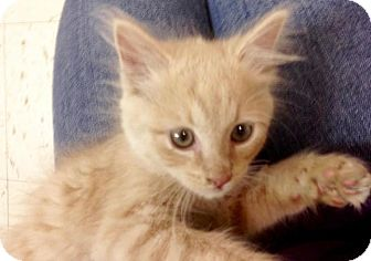 Domestic Mediumhair Kitten for adoption in River Edge, New Jersey - Cooper