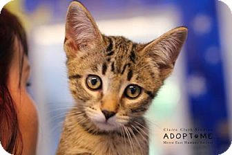 Domestic Shorthair Cat for adoption in Edwardsville, Illinois - Arbour