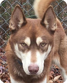 Husky Mix Dog for adoption in Harrisonburg, Virginia - Bear