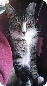 Domestic Shorthair Kitten for adoption in Diamond Springs, California - Chuckles