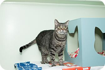 Domestic Shorthair Cat for adoption in Chicago, Illinois - Noah