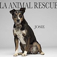 Adopt A Pet :: Josie - Los Angeles, CA