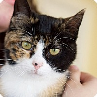 Adopt A Pet :: Sweet Caroline - Nashville, TN