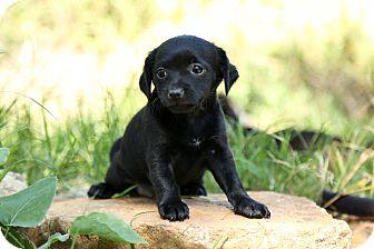 Pomeranian/Dachshund Mix Puppy for adoption in Auburn, California - Missy