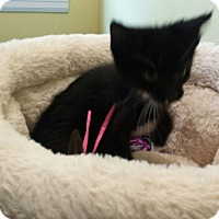 Domestic Shorthair Kitten for adoption in Kalamazoo, Michigan - Easter - Chelsea