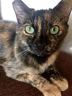 Domestic Shorthair Cat for adoption in St. Cloud, Florida - Avery