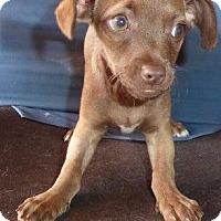 Adopt A Pet :: Yetta - San Diego, CA