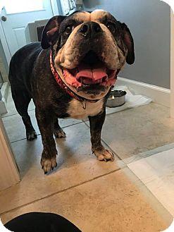 English Bulldog Dog for adoption in Odessa, Florida - Sugarpuss