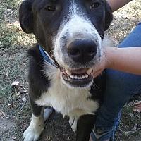 Adopt A Pet :: Bear - Hagerstown, MD