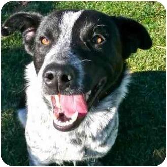 Australian Cattle Dog Mix Dog for adoption in San Clemente, California - SALLY