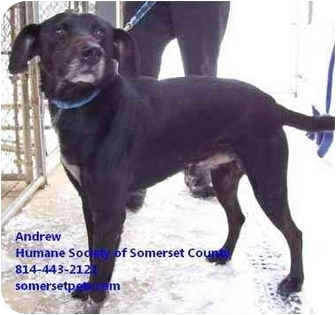 Labrador Retriever Mix Dog for adoption in Somerset, Pennsylvania - Andrew