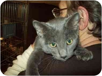Domestic Shorthair Cat for adoption in Tipton, Iowa - Brutus