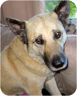 Husky/German Shepherd Dog Mix Dog for adoption in Saskatoon, Saskatchewan - Scooby