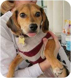 Beagle Mix Puppy for adoption in Richmond, Virginia - Princess