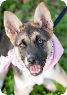 German Shepherd Dog Mix Puppy for adoption in Portsmouth, Rhode Island - Matilda w/video!