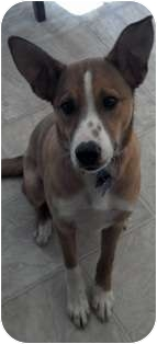 Collie/Terrier (Unknown Type, Medium) Mix Puppy for adoption in Franklin, West Virginia - Bounce RESQ PENDING