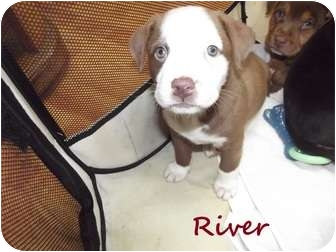Rottweiler Mix Puppy for adoption in Oak Lawn, Illinois - River
