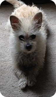 Westie, West Highland White Terrier/Terrier (Unknown Type, Small) Mix Dog for adoption in Salt Lake City, Utah - SUGAR