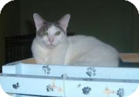 Domestic Shorthair Cat for adoption in Cleveland, Ohio - Tyler