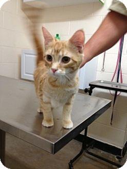 American Shorthair Cat for adoption in Spring Valley, New York - Princess Laya