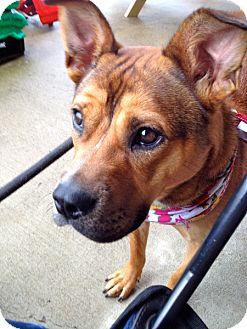 Border Terrier/Spitz (Unknown Type, Medium) Mix Dog for adoption in Metamora, Indiana - Leila
