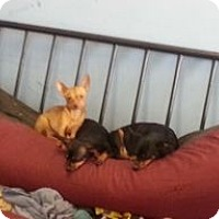 Adopt A Pet :: Baby Cheesus - Houston, TX