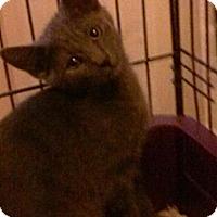 Adopt A Pet :: Lord Remington - Cranford/Rartian, NJ