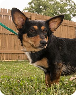 Dachshund/Corgi Mix Dog for adoption in Martinsville, Indiana - Spanky