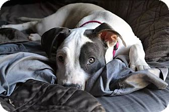 American Pit Bull Terrier Puppy for adoption in Van Nuys, California - Nadia