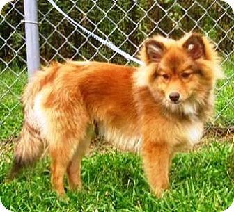 Sheltie, Shetland Sheepdog/Pomeranian Mix Puppy for adoption in Oswego, Illinois - Shermie