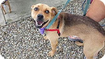 Shepherd (Unknown Type)/Boxer Mix Puppy for adoption in Beachwood, Ohio - Zoey