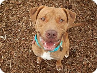 American Pit Bull Terrier Mix Dog for adoption in The Dalles, Oregon - Bullett