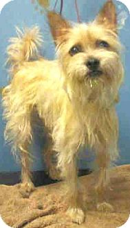 Schnauzer (Miniature)/Skye Terrier Mix Dog for adoption in Boulder, Colorado - Drake-ADOPTION PENDING