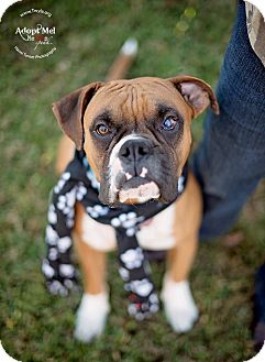 Boxer Dog for adoption in Kingwood, Texas - Stanley