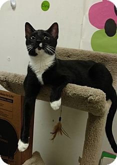 Domestic Shorthair Cat for adoption in Bensalem, Pennsylvania - Panda