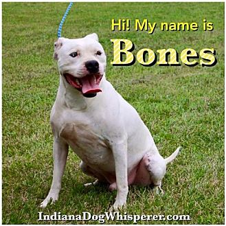 American Pit Bull Terrier Dog for adoption in Poland, Indiana - Bones