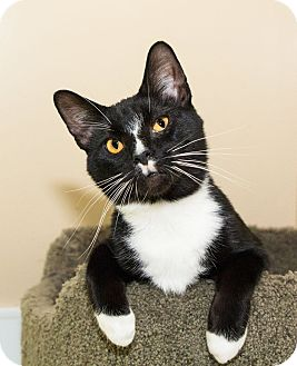Domestic Shorthair Cat for adoption in Seville, Ohio - Kanye West