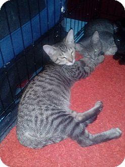 Domestic Shorthair Kitten for adoption in Glendale, Arizona - Simon