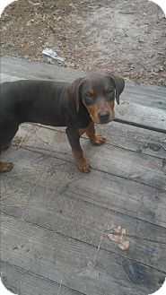 Doberman Pinscher/Boxer Mix Puppy for adoption in Spring, Texas - Asher