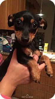 Chihuahua/Dachshund Mix Puppy for adoption in bridgeport, Connecticut - Belle